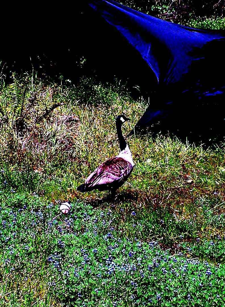 Goose and Goslings #1
